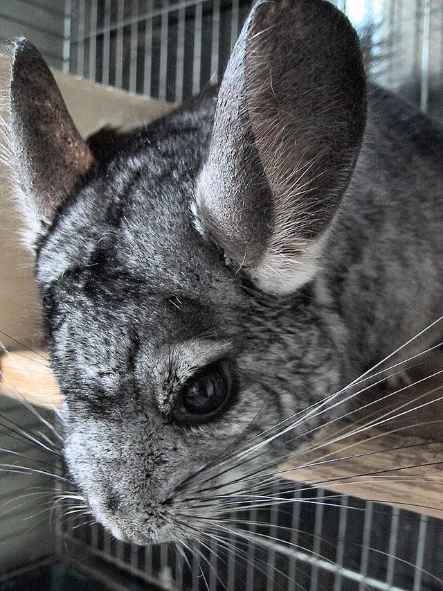 Chinchilla care - photo#21